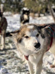 Dogsledding in Minnesota