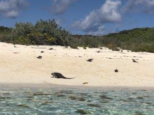 Bahamas, bucket list, adventure, tours, beach, paradise, swimming with the pigs, swimming pigs, Exuma, swimming with sharks, nurse sharks, shark dive, island, beach, best beaches, Caribbean, Iguana, iguana island